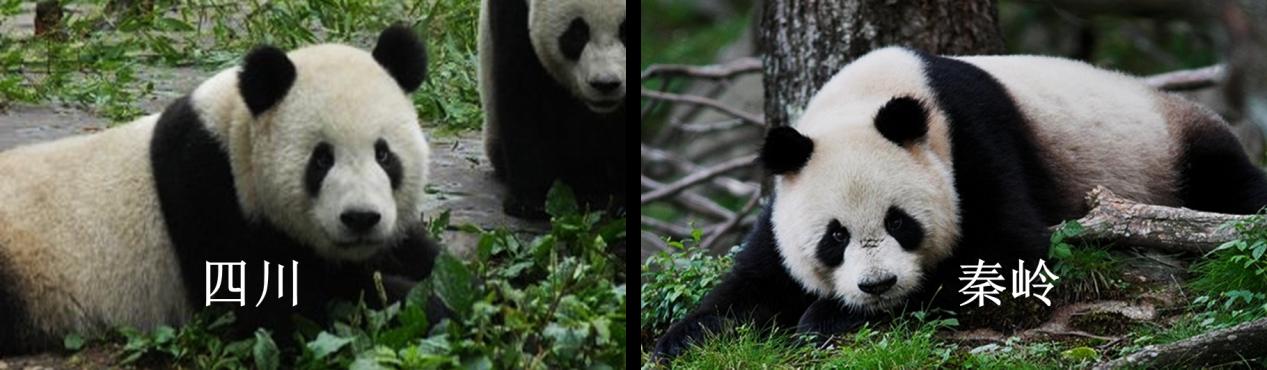 浙大对熊猫的最新研究显示,亚种间差异除了一个像熊一个像猫,还有这些