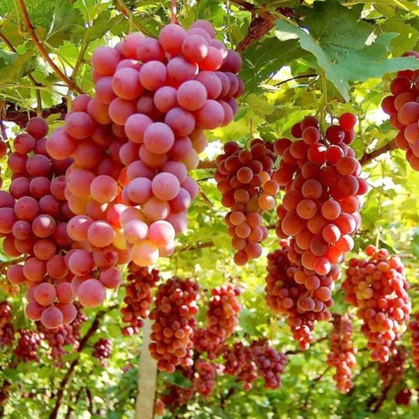 吐鲁番葡萄