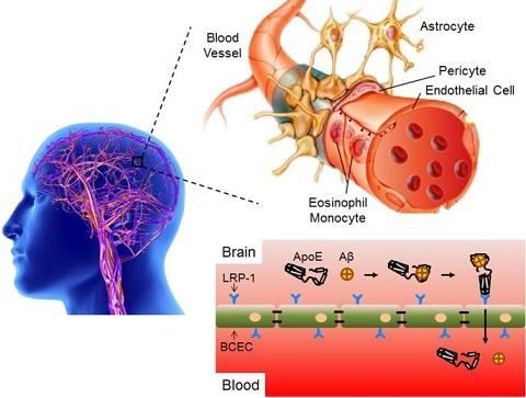 基础医学院占昌友研究员团队在脑靶向脂质体药物设计上取得新进展