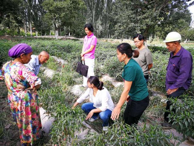 【向南发展】农学院赴英吉沙县开展辣椒栽培技术服务