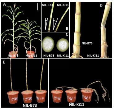 人才强校|林中伟教授课题组在玉米抗倒伏性研究中取得重要进展