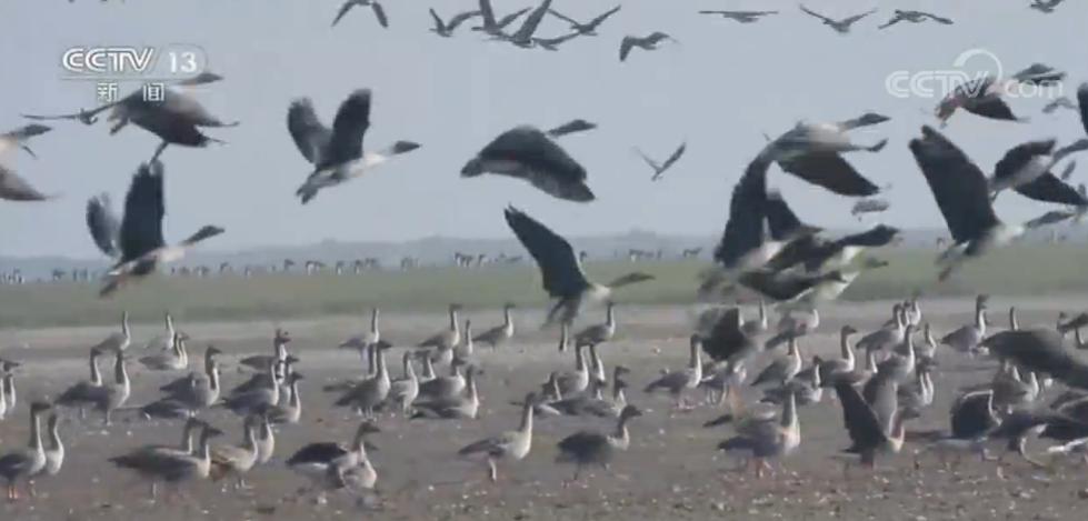 随着天气变暖,在洞庭湖越冬的候鸟陆续向北方迁徙,它们分种群集结的场面蔚为壮观。