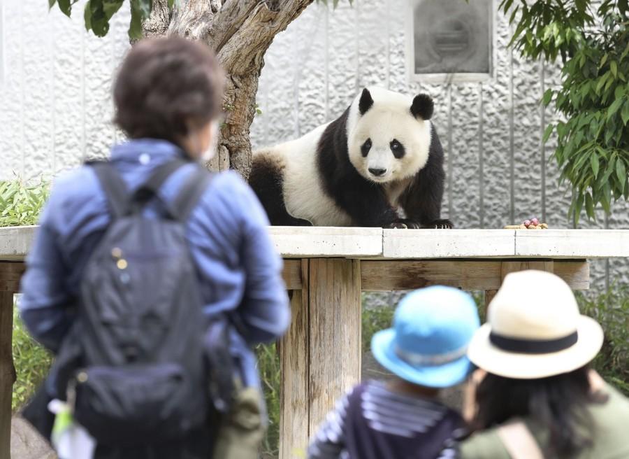 旅日大熊猫旦旦7月回国 大批日本人抽签入园告别