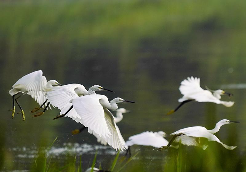 鹭鸟南湖舞翩跹