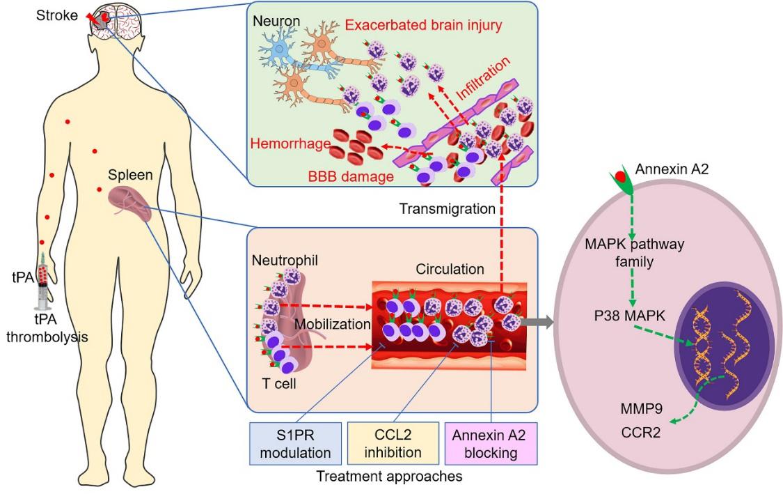 施福东课题组《Circulation Research》揭示脑卒中病人tPA溶栓后出血转化的机制和干预策略