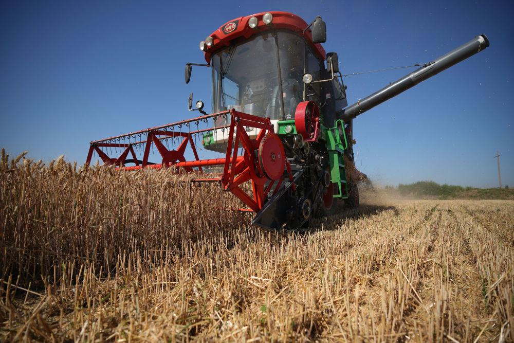 河北邢台经济开发区:小麦开镰收割